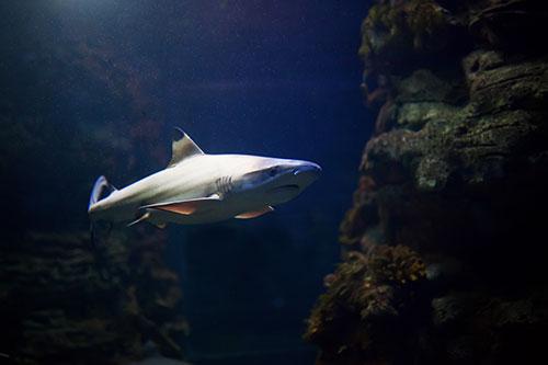 Tiburón de punta negra en aguas tropicales sobre arrecifes de coral