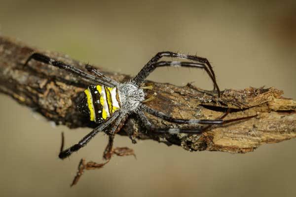 Araña en una rama