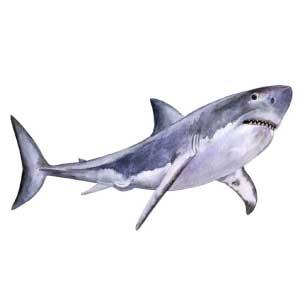Dibujo de tiburón para tatuaje