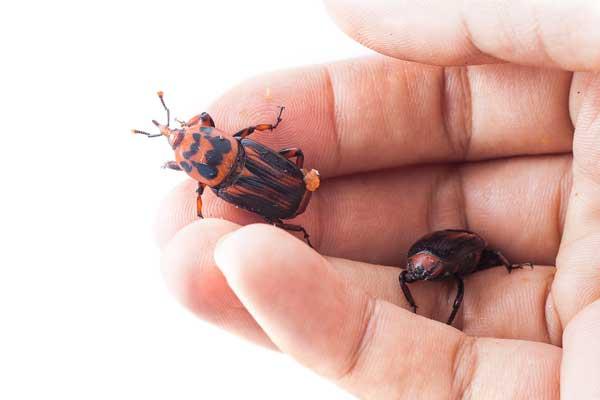 Escarabajo picudo rojo