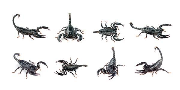 Grupo de escorpiones