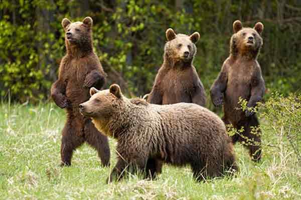Hermanos osos pardos junto a madre