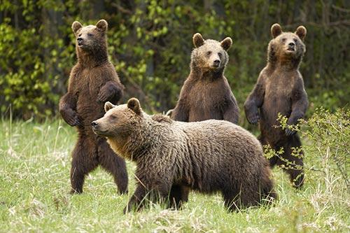 Hermanos osos pardos junto a su madre