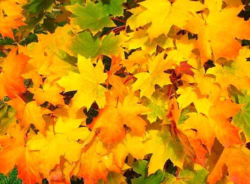 Hojas de árbol caídas en otoño