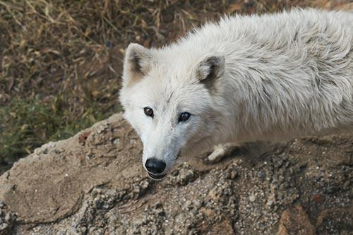 Lobo blanco ártico en peligro de extinción