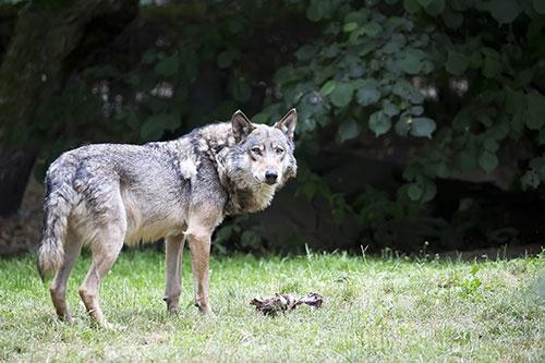 Lobo en claro de bosque