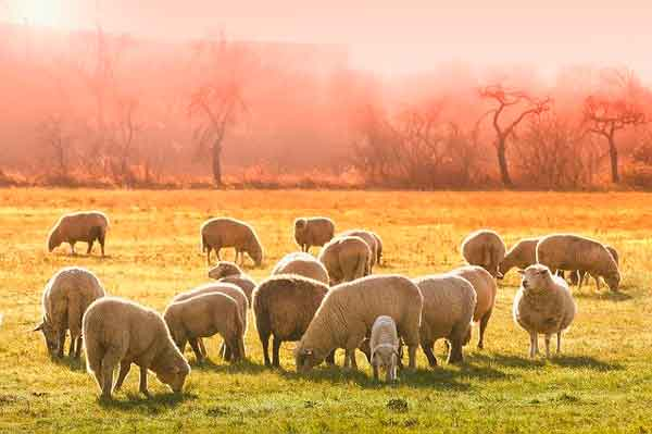 Manada de corderos