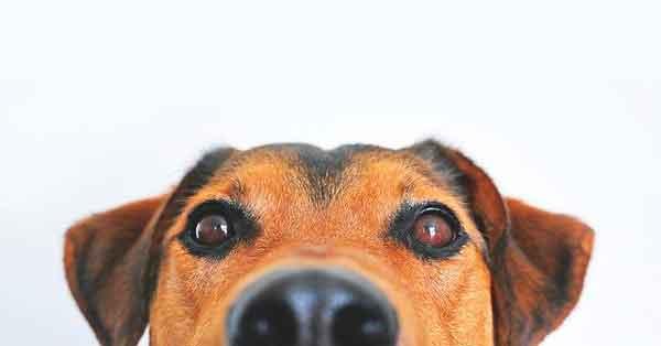 Ojos de perro observando