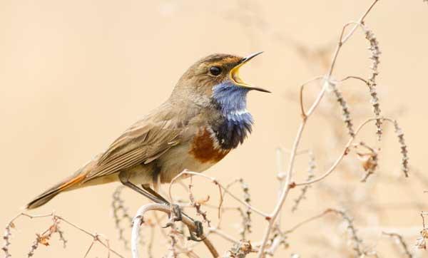 Pájaro pechiazul macho cantando