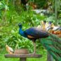 Pavo real y palomas comiendo