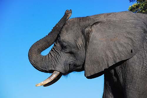 Perfil cabeza de elefante