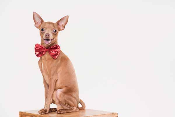 Perro chihuahua con lazo rojo