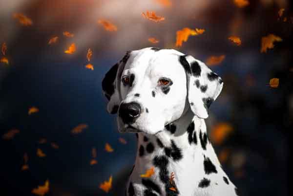 Perro dálmata con hojas cayendo