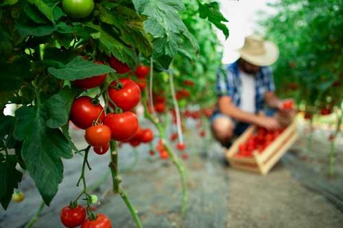 Recolección de tomates en huerta