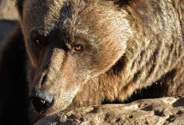 Retrato de oso pardo