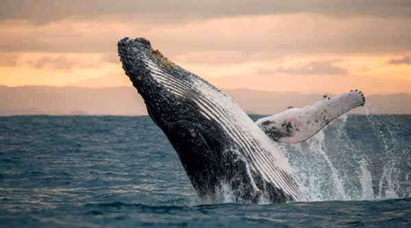 Significado de soñar con ballena