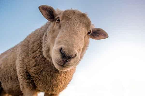 Significado de soñar con corderos