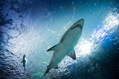 Tiburón en acuario de Toronto